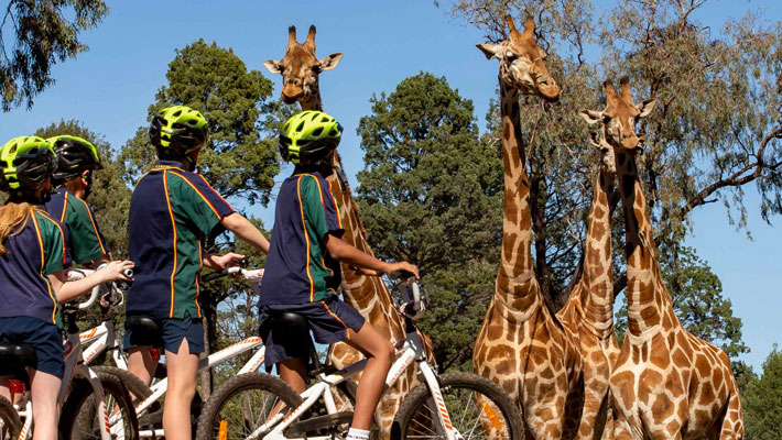 Students bike-riding around the Zoo observing Giraffe