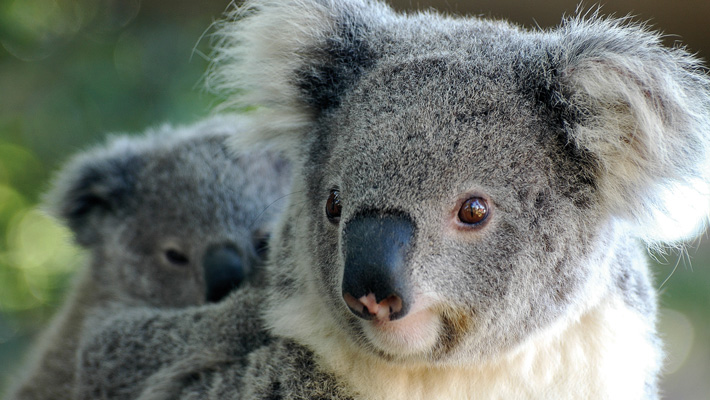 Koala with joey at Taronga Zoo Sydney.