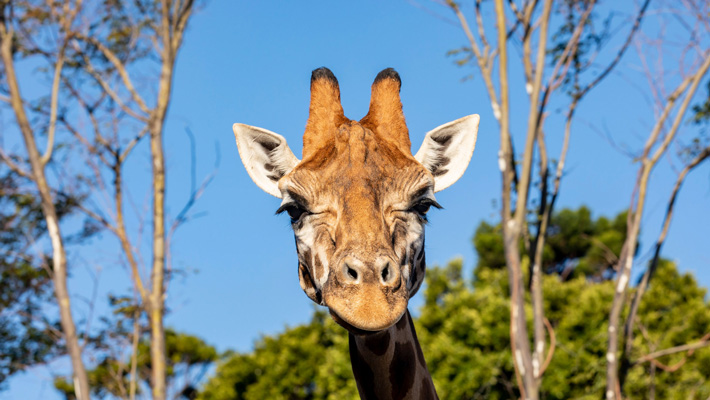 Giraffe. Photo: Rick Stevens