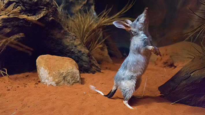 Bilby in the Australian Nightlife precinct at Taronga Zoo Sydney