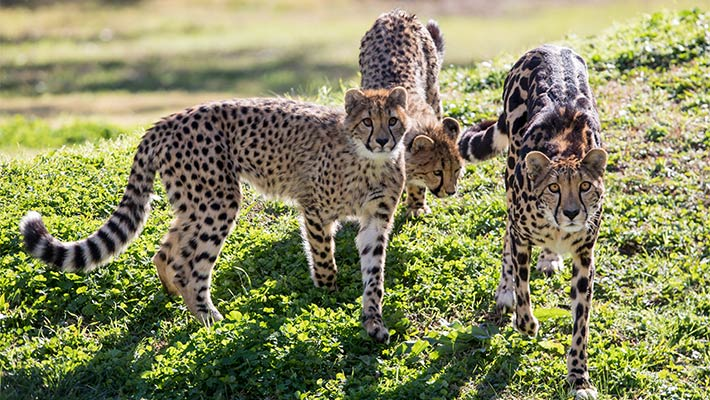 King Cheetah Kyan with her cubs. Photo: Rick Stevens