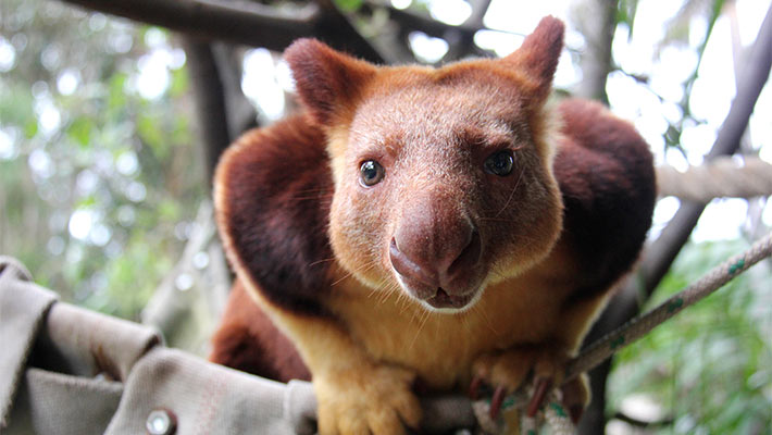 Goodfellow's Tree Kangaroo. Photo: Paul Fahy