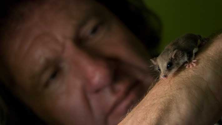 Paul Davies with the tiny feathertail glider