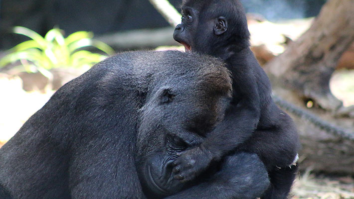 Gorilla mother and baby. Photo: Paul Fahy
