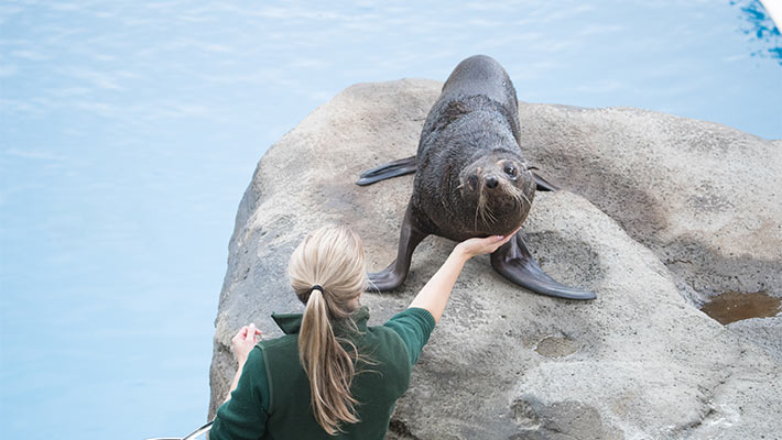 Taronga Keeper trains with our seals. Photo: Jonathan Dear