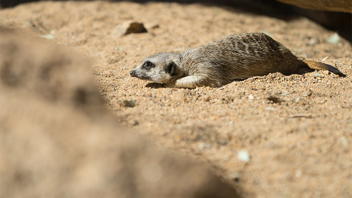Meerkat. Photo: Chris Wheeler