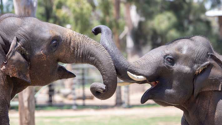 Asian Elephants at Taronga Western Plains Zoo Dubbo