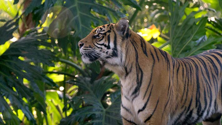 Get up close to the critically endangered Sumatran Tiger at Tiger Trek