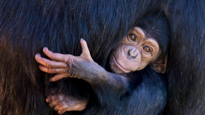 Chimpanzee Ceres with baby Cebele