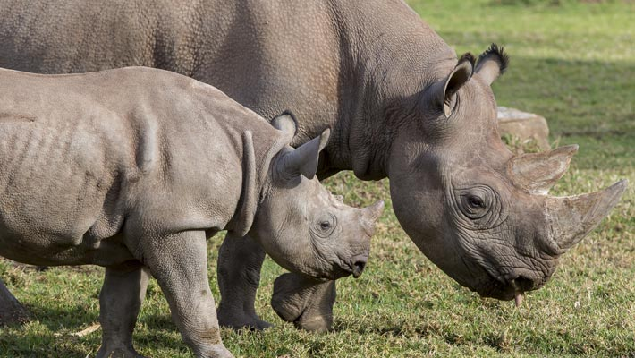 Black Rhino calf, Pampoen