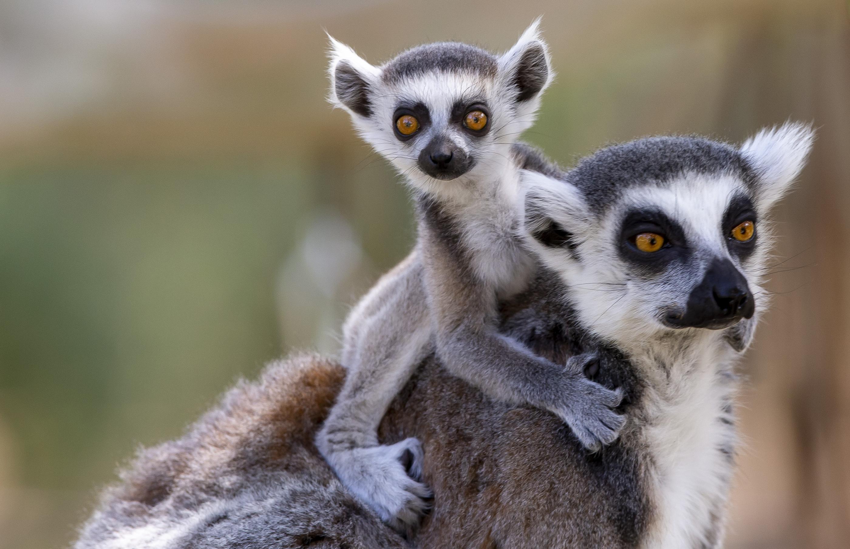 ring tailed lemurs named taronga conservation society australia