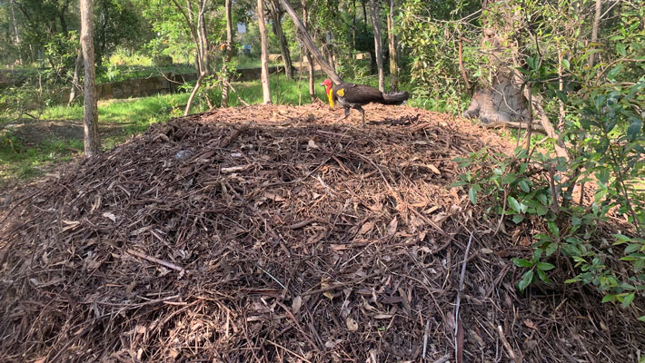 Brush-turkey nest; males build mounds May-August and tend their mound until February, chicks hatch from October to February.