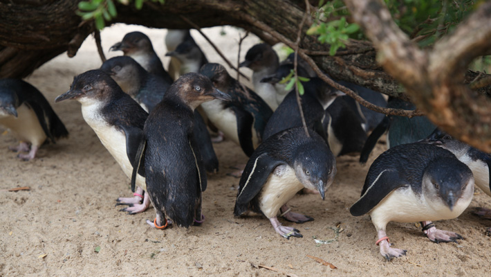 The Little Penguins are arguably some of Taronga Zoo Sydney's cutest feathered residents.