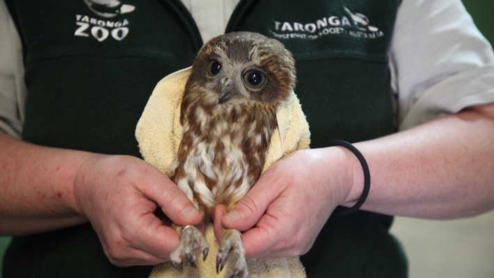 Meet a gorgeous Boobook Owl who has been brought in from the wild.