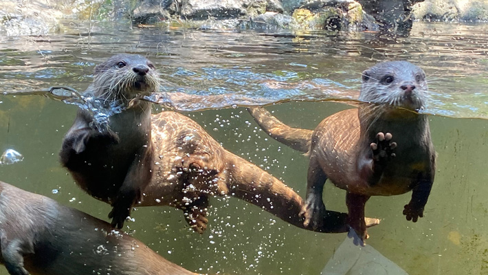 Go behind the scenes as a keeper attempts to train an otter.