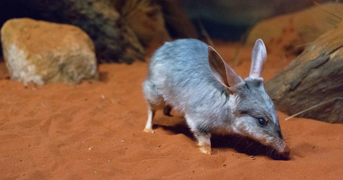 bilby taronga conservation society australia