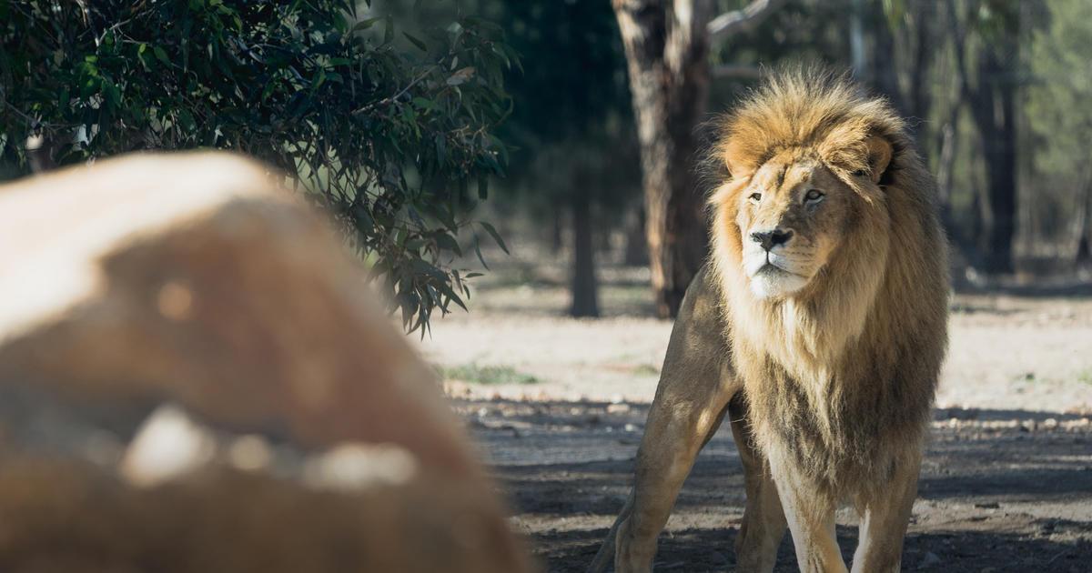 Lion | Taronga Conservation Society Australia