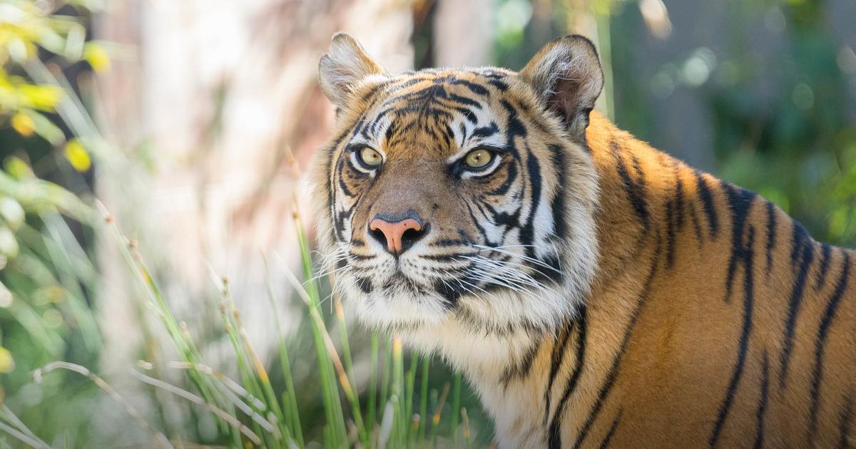 Sumatran Tiger | Taronga Conservation Society Australia