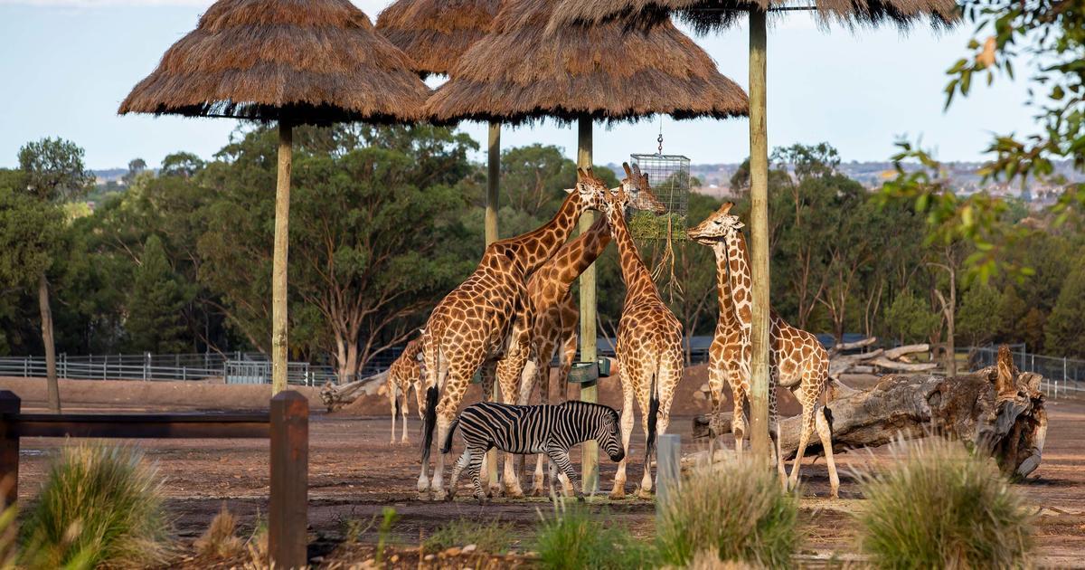 zoofari lodge taronga conservation society australia