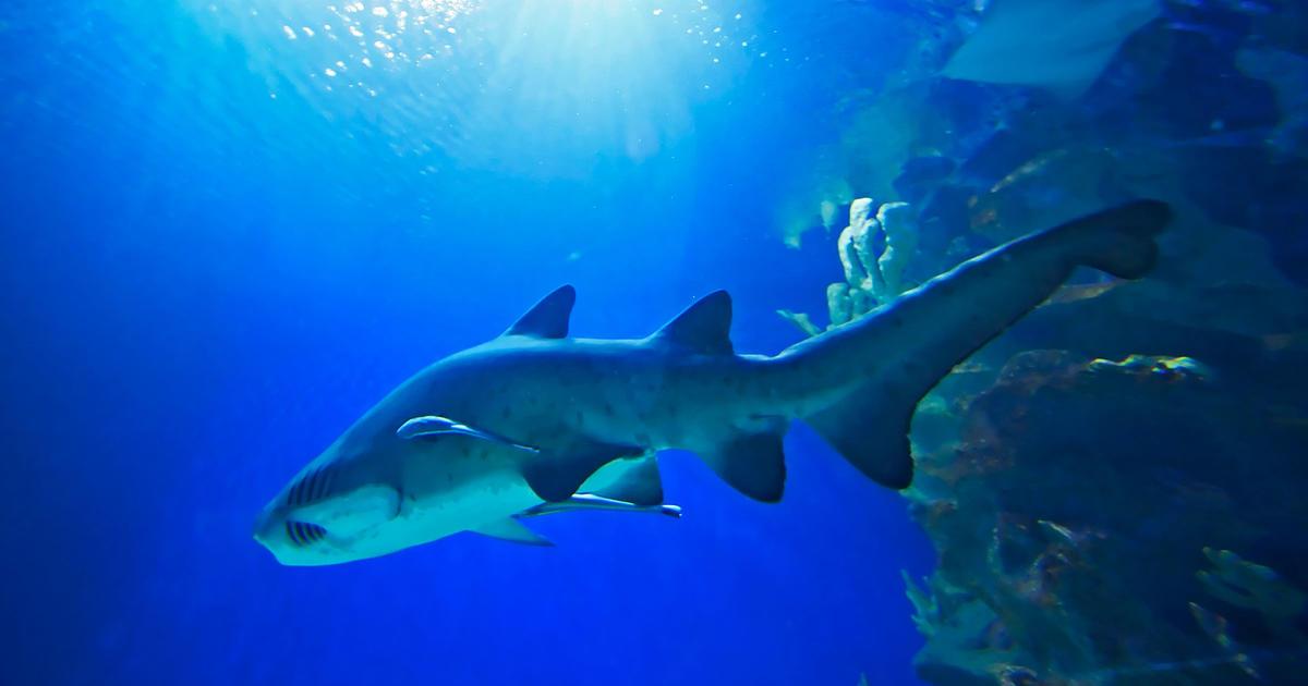Australia Underwater Map.Australian Shark Attack File Map Taronga Conservation Society