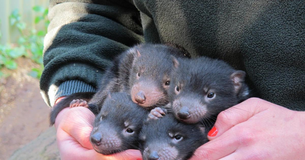 Devil Dinners | Taronga Conservation Society Australia