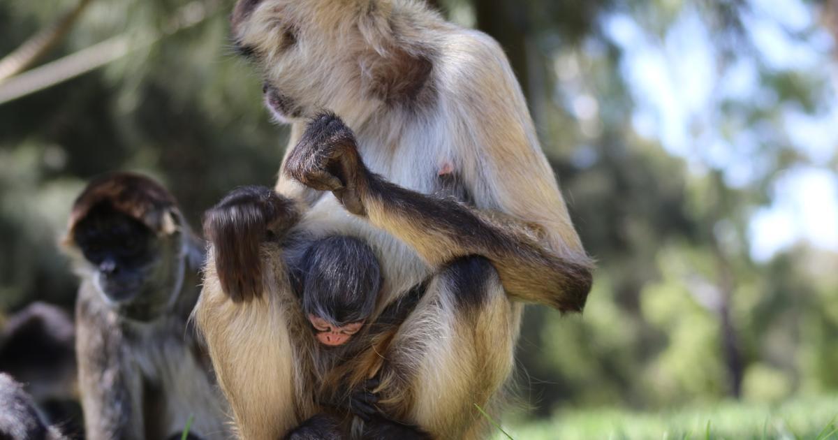 Spider Monkey baby born | Taronga Conservation Society Australia
